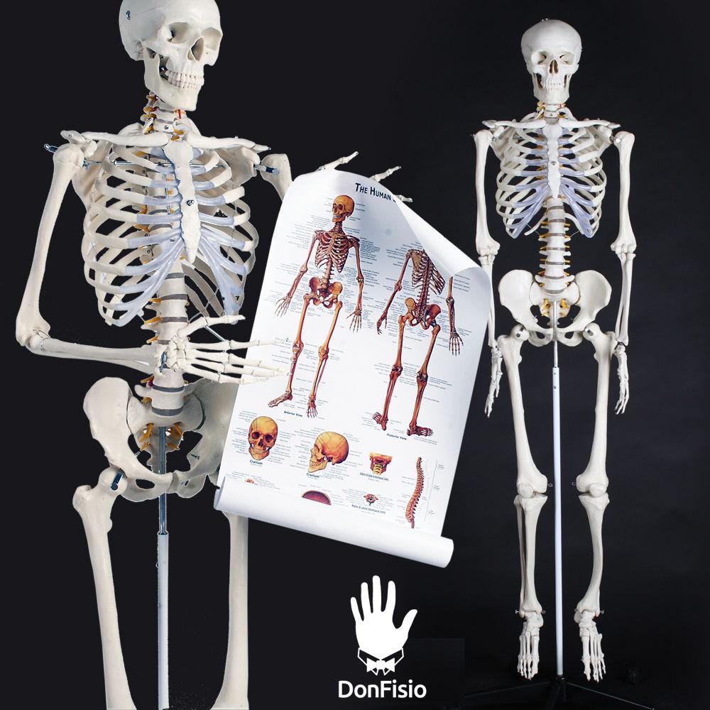 venta esqueleto tamaño real economico